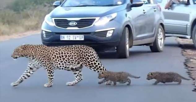 Как самка леопарда переводила детенышей через дорогу  Интересное