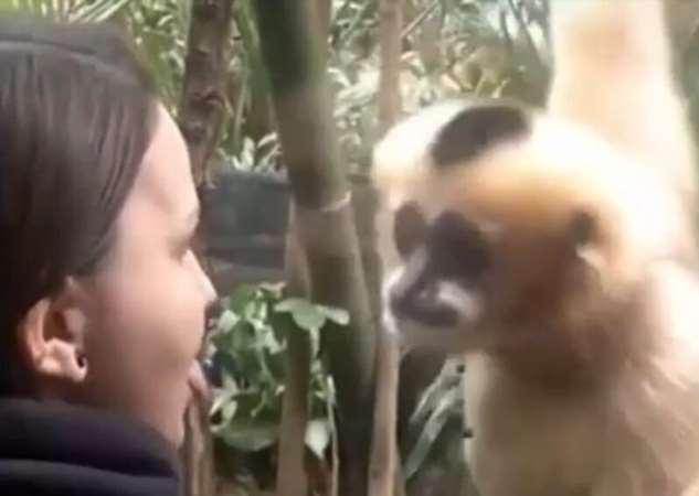 Забавная реакция обезьяны на проколотый язык девушки  Интересное
