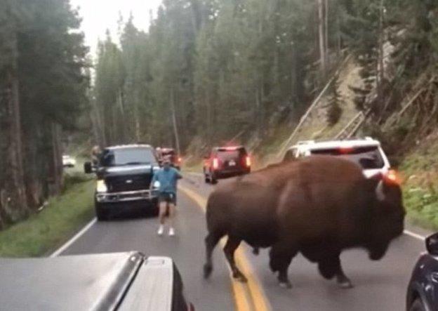 Слабоумие и отвага: мужчина проверил терпение бизона в Йеллоустоне
